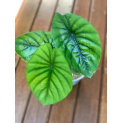Alocasia Green Shield